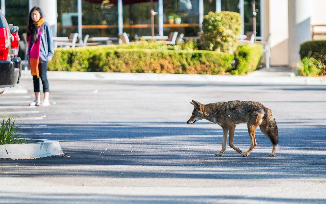 Your Friendly, Neighborhood Coyote